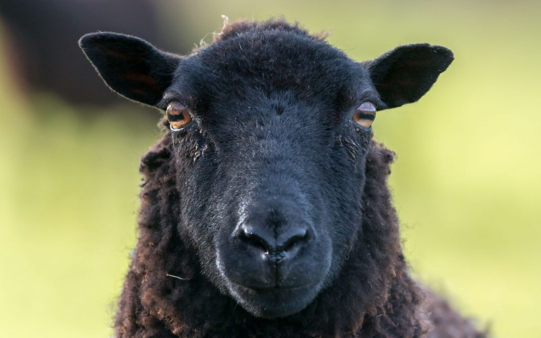 Face recognition in sheep – what's behind the headline?